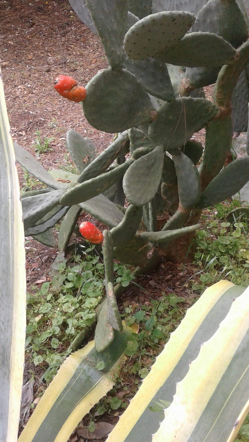 Cactus with red fruit 2.jpg 2.jpg