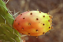 Cactus fruit (yellow) 9.jpg