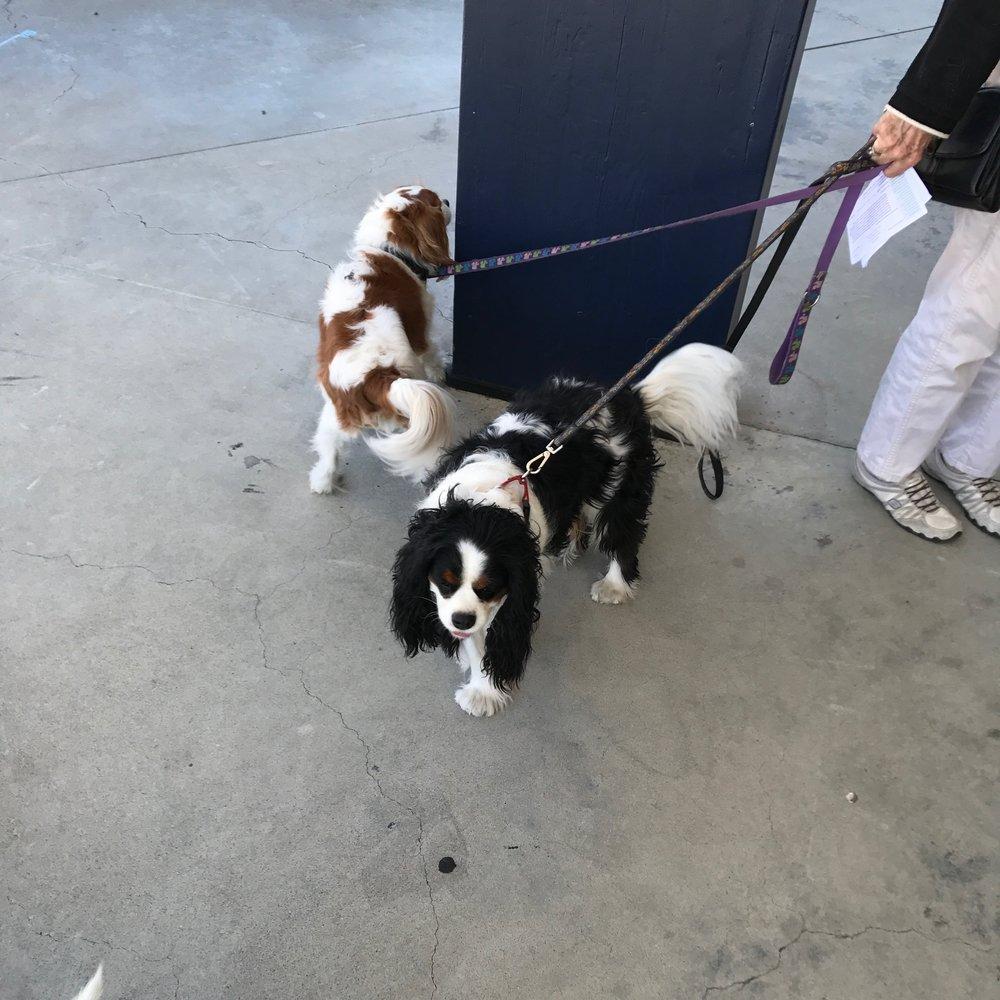 Dogs 7 & 8 spaniels IMG_2353.jpg*.jpg