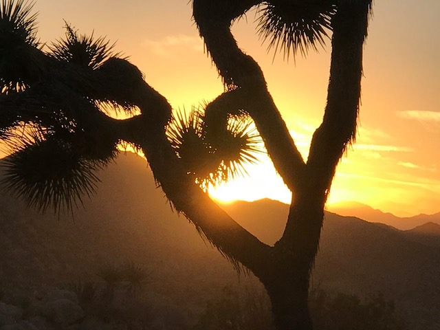 A Joshua Tree w Yellow Sunset.jpeg
