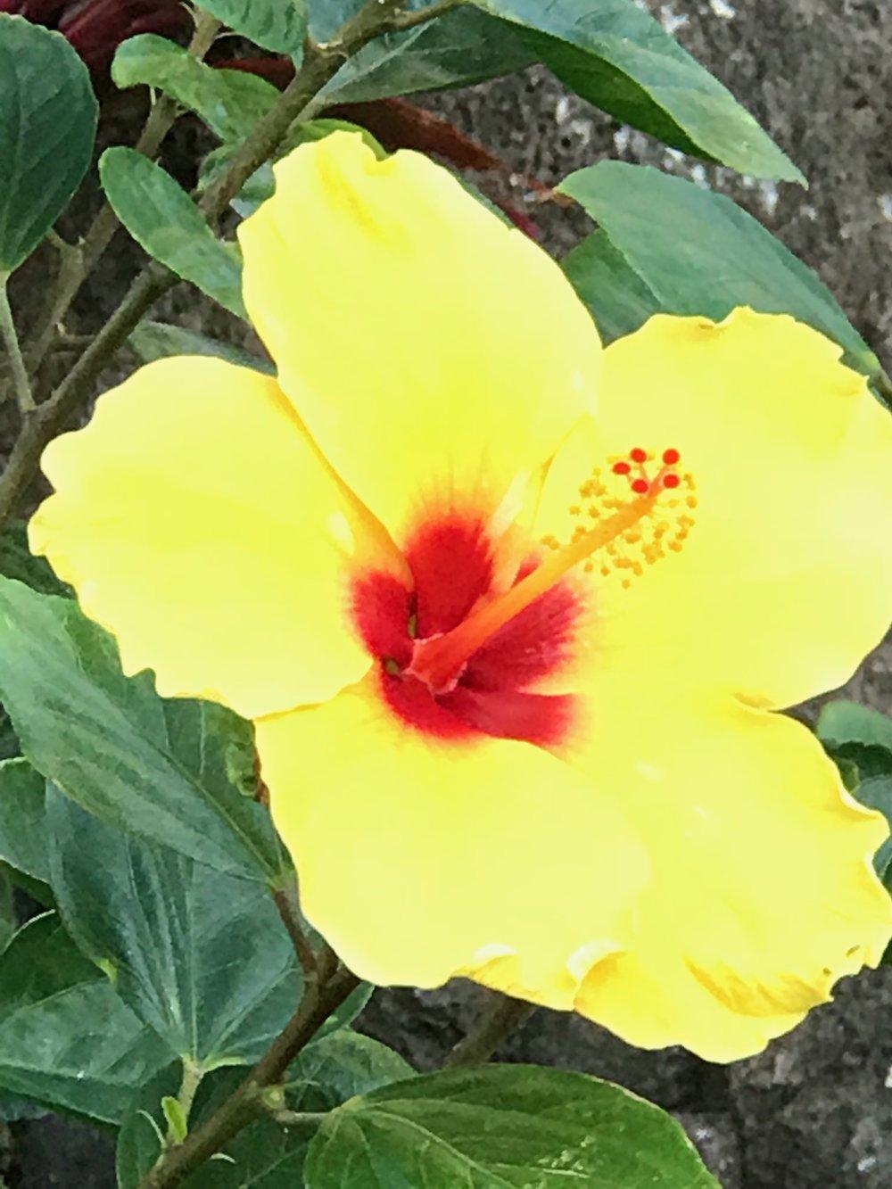 Yellow Hibiscus state flowerIMG_4570.jpg*.jpg