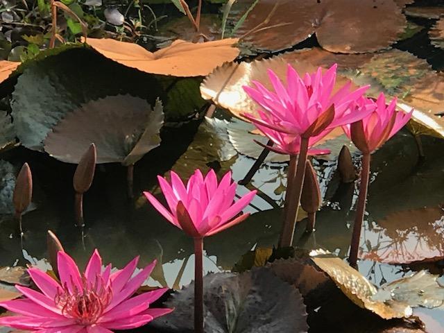 Lotus field in RIce Paddy area.jpg*.jpg