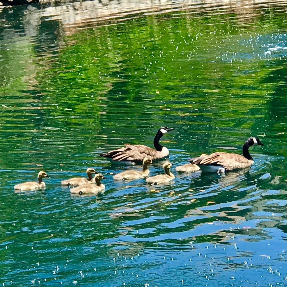 Geese & Goslings.jpg