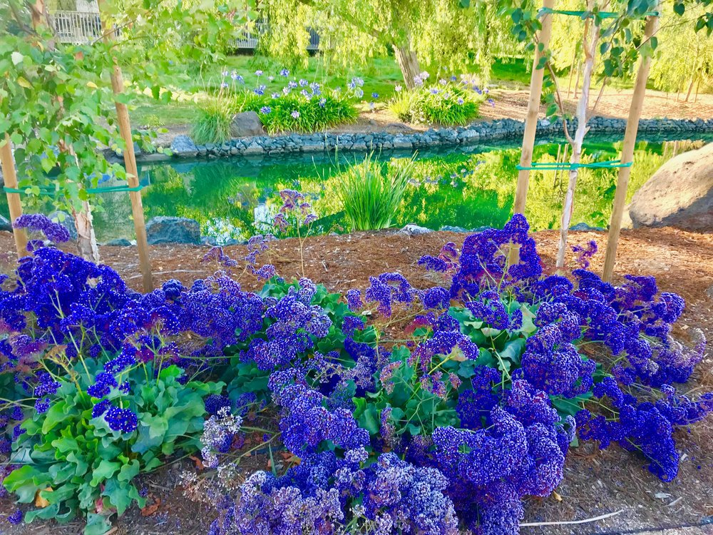 Blue Hydrangeas next to Pond.jpg*.jpg