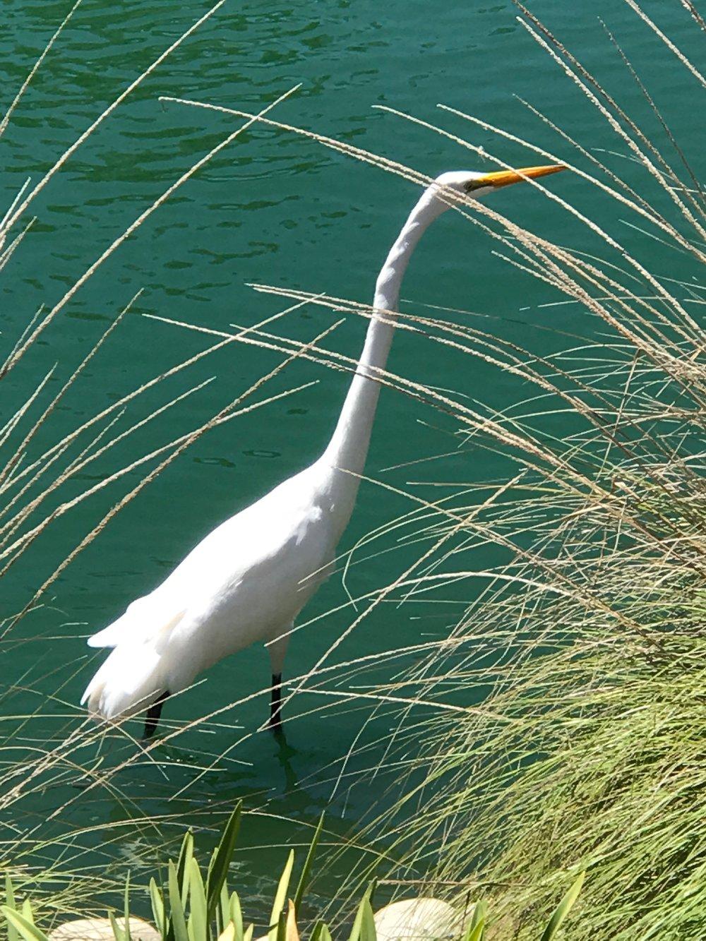 Egret Wading in reeds.jpg