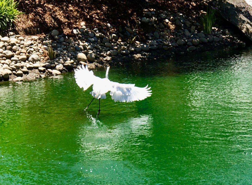Flying & Landing Egret. (Horiz)jpg*.jpg