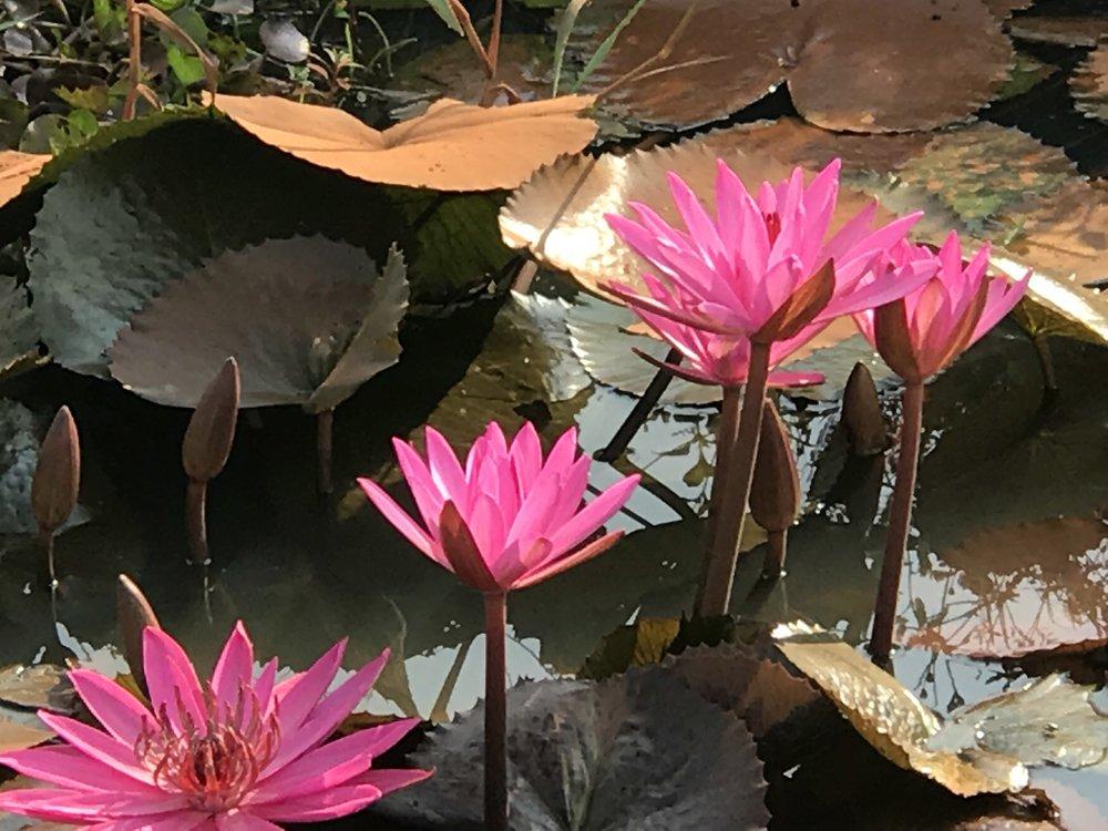 Pink Lotuses Siem Reap.jpg