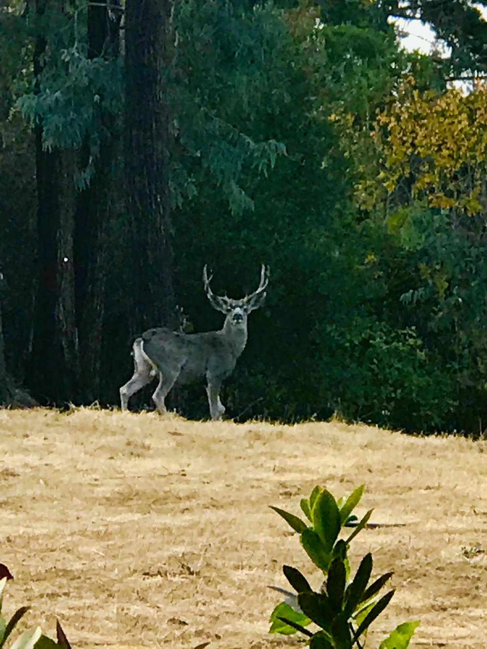 Photo (Deer:Stage Meadows RH.jpg