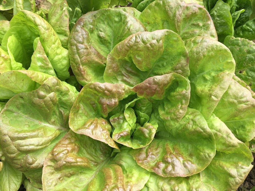 CSA Lettuce 2.jpg