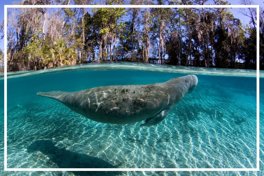 A manatee in three Sisters Spring, Crystal River. Photo by David Schrichte.