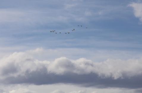 geese.jpeg