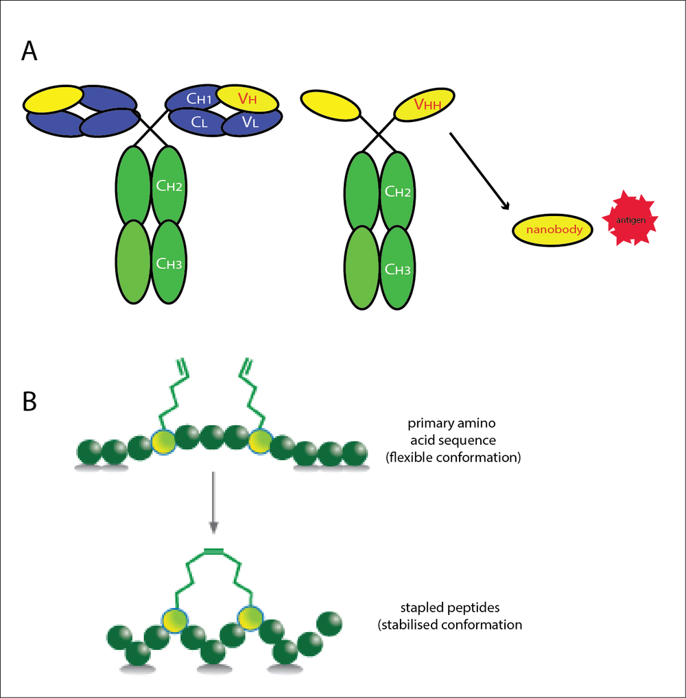 Engineering better protein interactions using the diversity of the immune system (A) or structurally informed, conformationally constrained peptides (B).