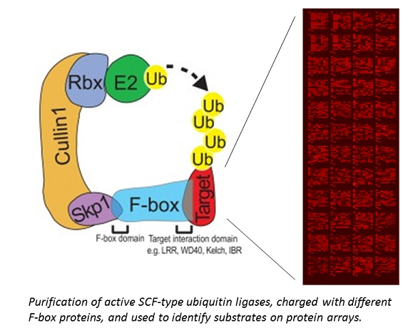 Purified active SCF-ligases used on protein arrays to identify networks of ubiquitinated substrates.