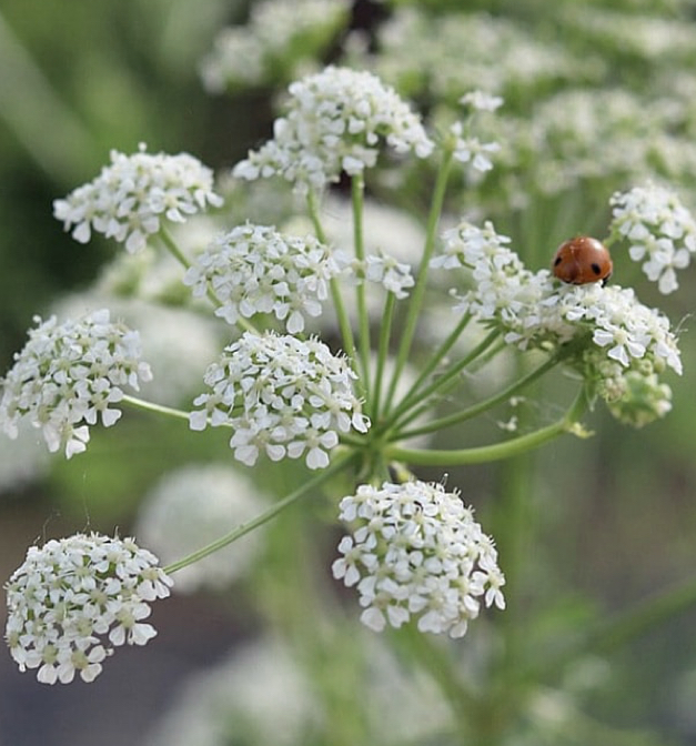 Poison hemlock. So pretty… so dangerous. Hope this little ladybug knows what she's doing!