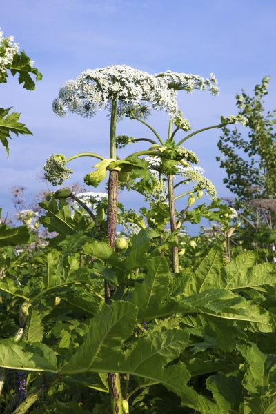 Cow parsnip stretching skyward