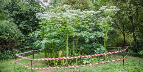 Giant Hogweed. Call for backup if you find it!