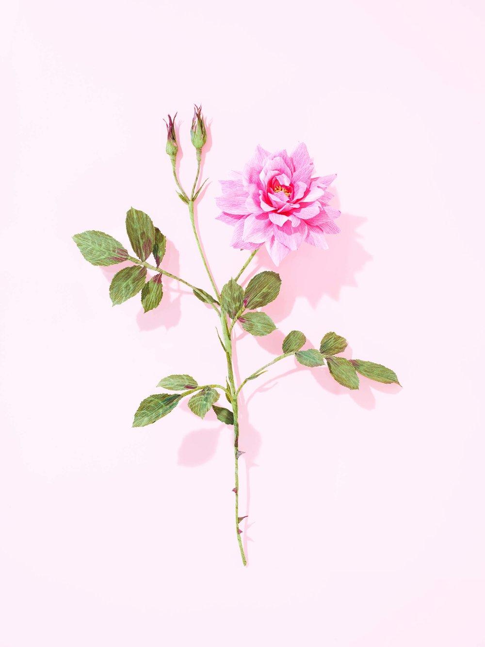 002-Garden-Rose_0017.jpg