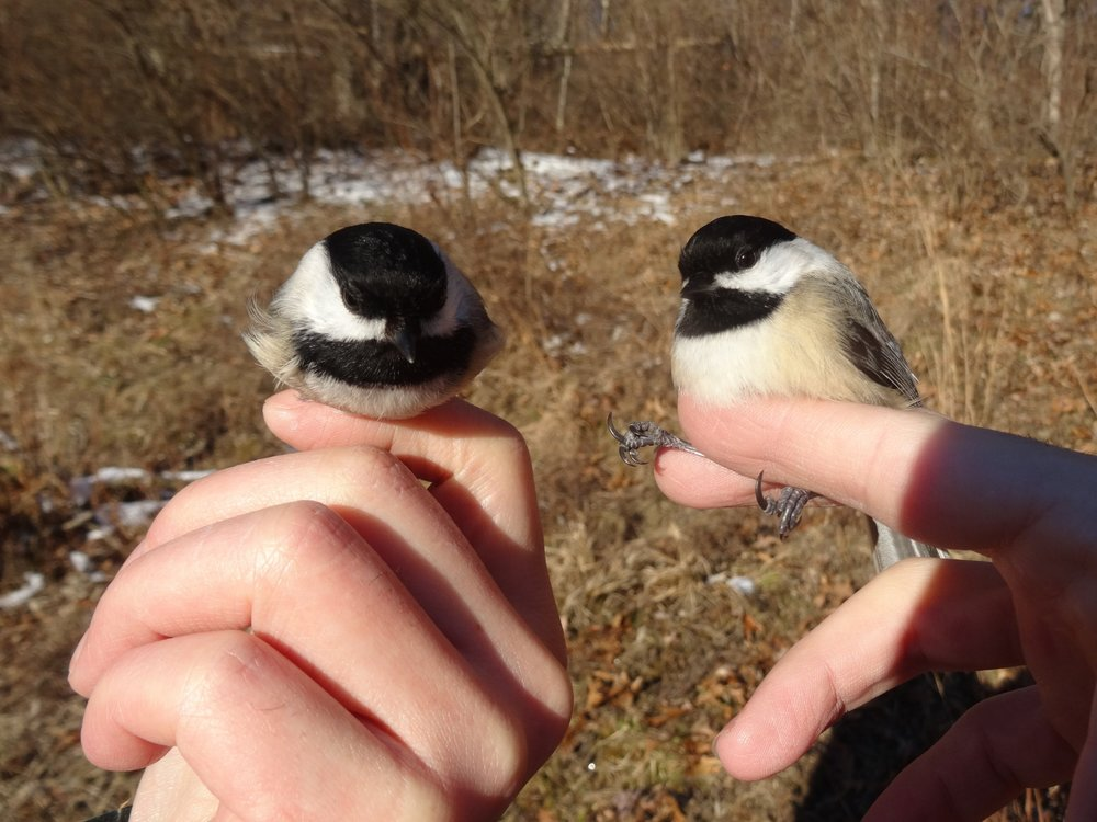 Black-capped chickadees in upstate New York.