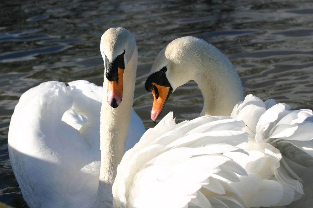 two-swans.jpg.1000x0_q80_crop-smart.jpg
