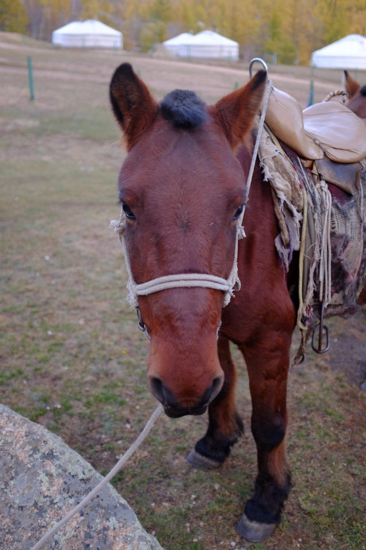 horse face mongolia