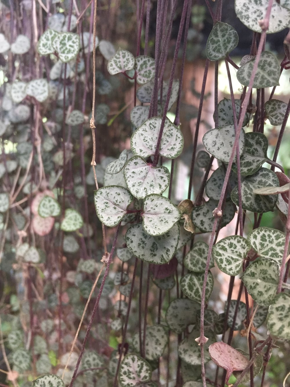 Rosary Vine, String of Hearts