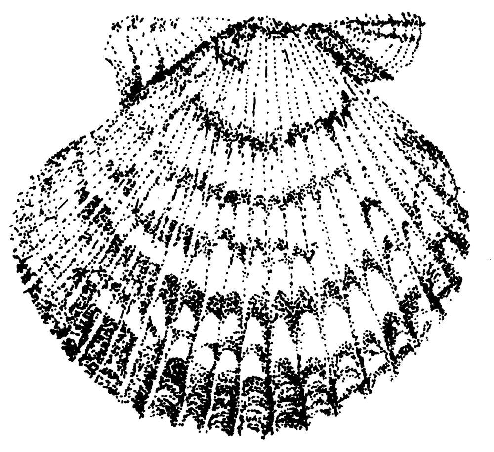scallop grayscale.jpg