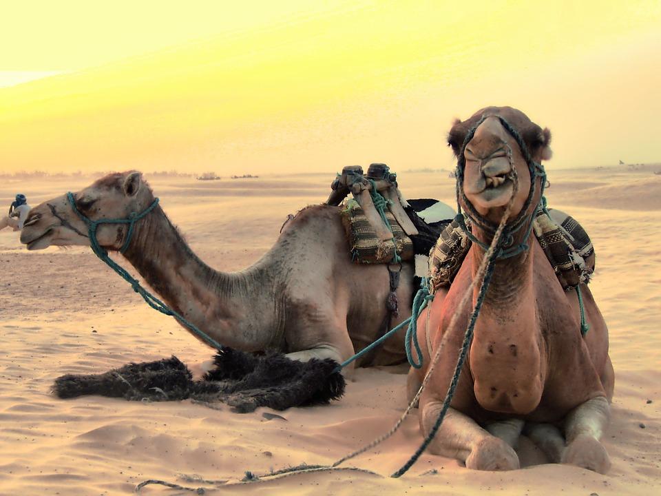 camels-2117221_960_720.jpg