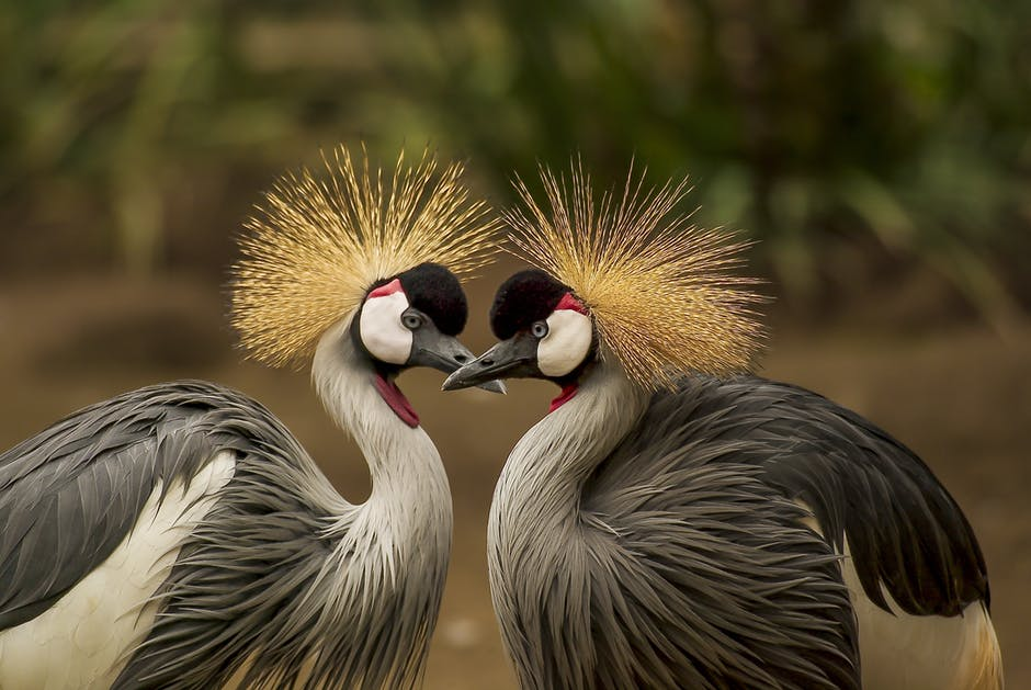 grey-crowned-crane-bird-crane-animal-45853.jpeg