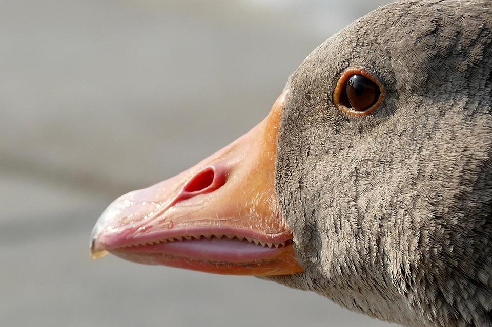 goose-1556424_960_720.jpg