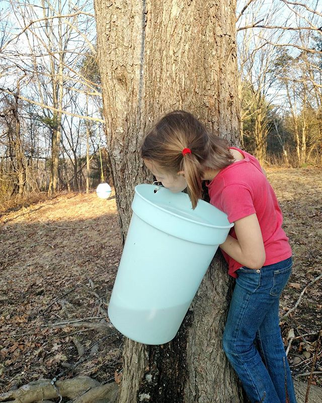 ✨ T H I S ✨is learning about food and where it comes from!!! And hopefully the beginning of an appreciation for how beautiful nature is ✨🌿💫 #plantedfamilies #mindfuleating #maplesyrup #love #thewaylifeshouldbe #maine #foodrevolution #foodrevmamas