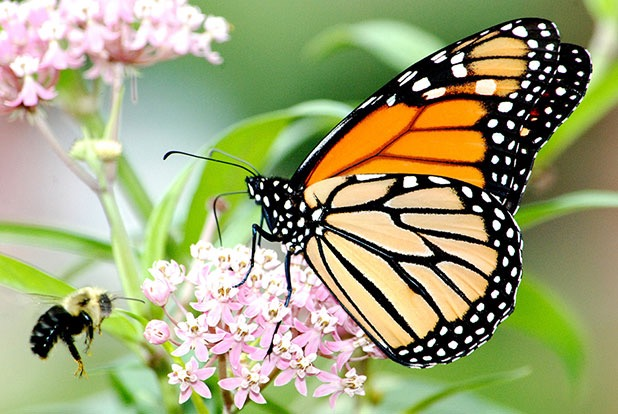 Monarch butterfly on swamp milkweed in Michigan. Photo by Jim Hudgins/USFWS.