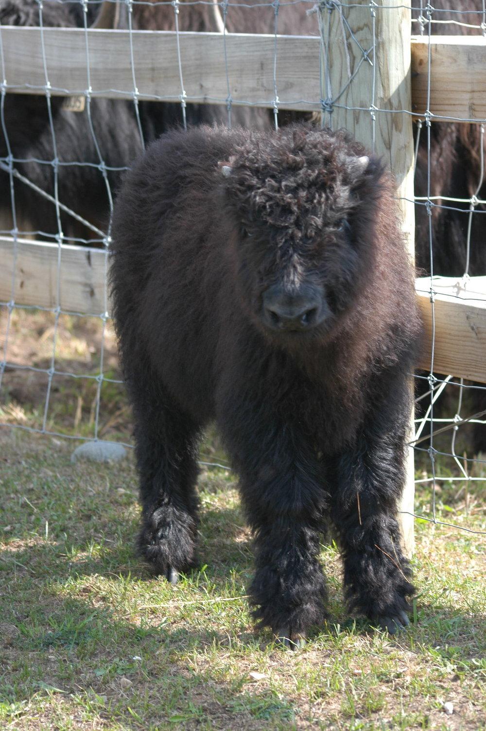 Everest, Eleven's 2014 calf