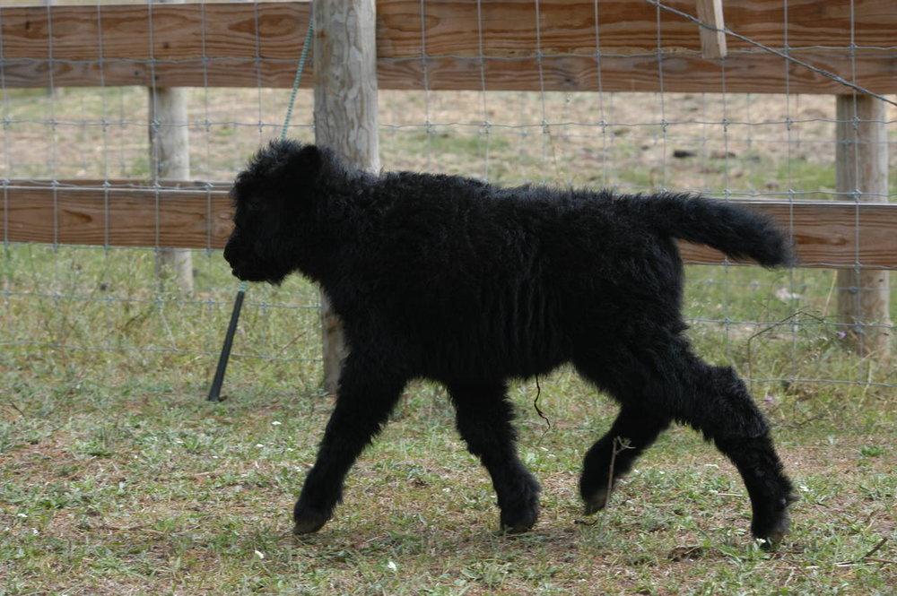 Bianca, Bhorn's 2014 calf