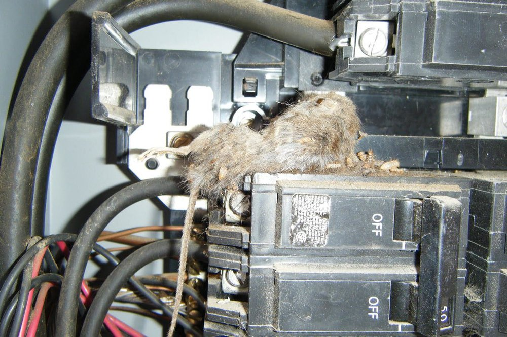 Mouse in the house! This poor little rodent thought he might try chewing on a 100amp service entry cable. The following measures can be taken to eliminate food sources and habitats for these little guys: Keep food in thick plastic or metal containers with tight-fitting lids. Clean up spilled food right away, and wash dishes and cooking utensils soon after use. Keep outside cooking areas and grills clean. Always put pet food away after use and do not leave pets' food or water bowls out overnight. Keep bird feeders away from the house.  Utilize squirrel guards to limit access to the feeder by squirrels and other rodents. Use thick plastic or metal garbage cans with tight-fitting lids. Keep compost bins as far away from the house as possible. Dispose of trash and garbage on a frequent and regular basis, and eliminate clutter in and around the property to discourage nesting. Elevate hay, woodpiles and garbage cans at least 1 foot off the ground. Move woodpiles far away from the house. Get rid of old trucks, cars and old tires that mice and rats could use as homes. Keep grass cut short, and keep shrubbery within 100 feet of the home well-trimmed. FYI - according to the CDC, mice can squeeze through a hole the size of a nickel.