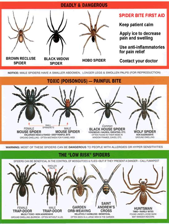 I have occasionally seen Black Widows while in crawl spaces, basements and garages. Most of the time the spiders I meet are fairly harmless like the all too common Wolf Spider. This Spider Identification Chart may be helpful to identify the spiders you may see around your home and determine if they are dangerous, poisonous or harmless.
