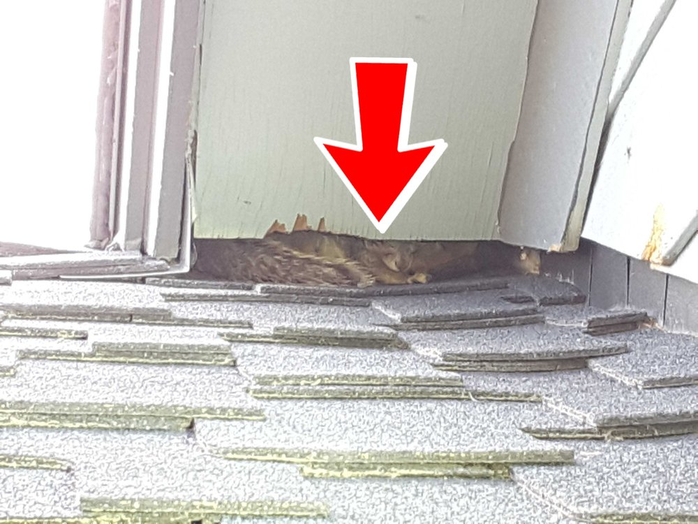 Missing flashing on a newer roof allowed a family of squirrels to nest and do a lot of damage inside the attic.