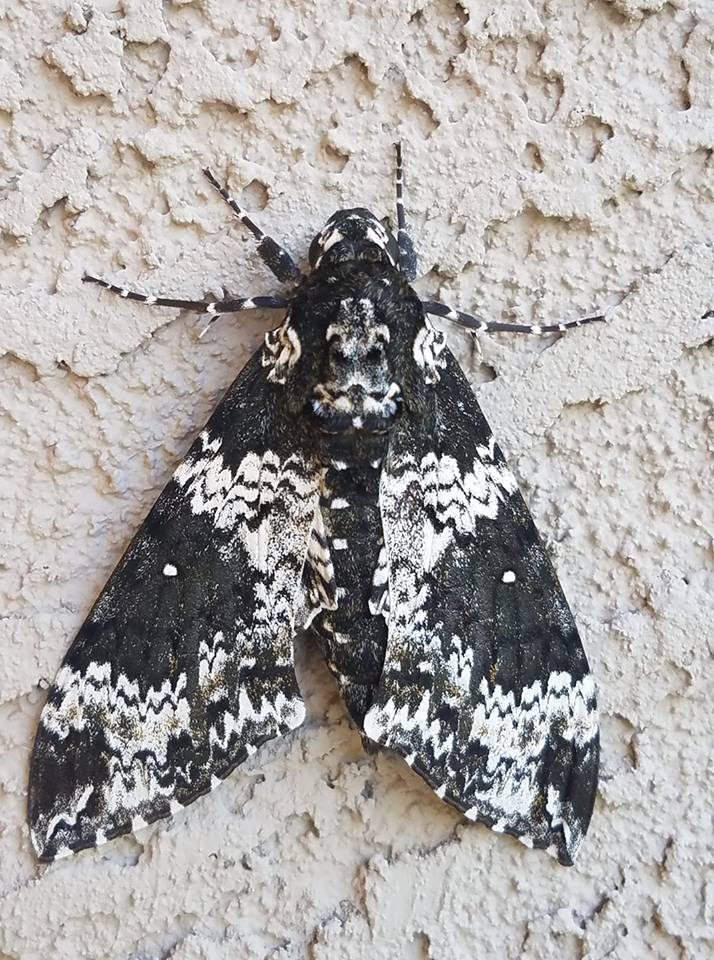 "Nice 3"" Rustic Sphinx Moth showed up on my patio today. For a complete list of the over 440 bugs common to Arizona,  (click here)"