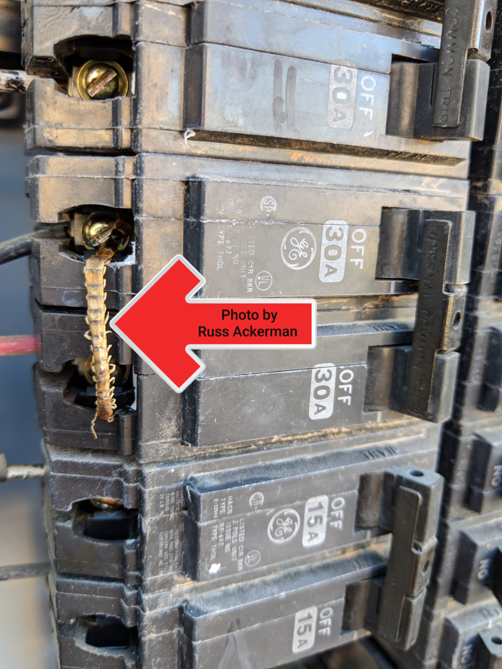 This centipede rolled to its death when it ran across a 120 volt electrical breaker.