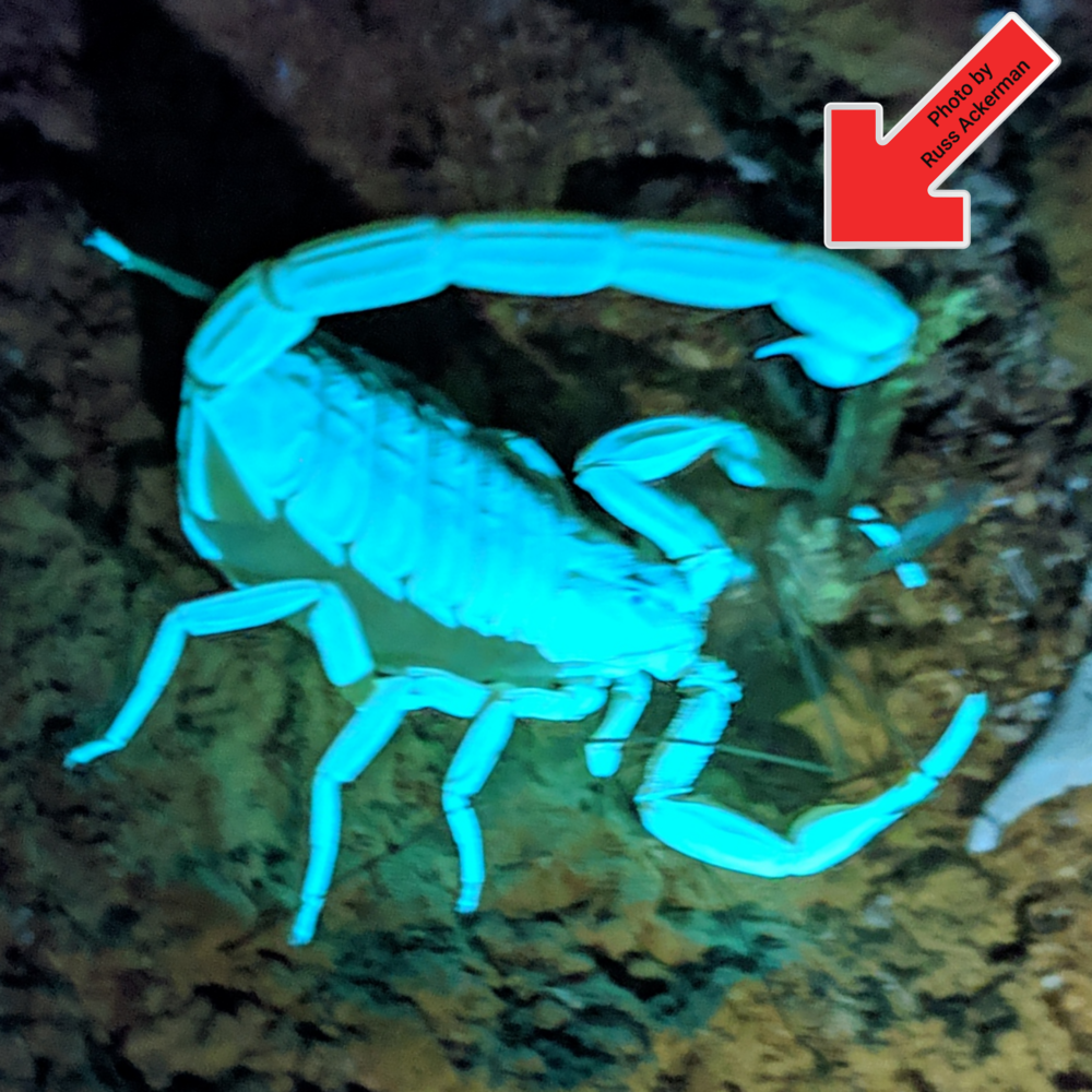 At 97°, our hottest day of the year so far, I was guaranteed to find some scorpions this evening. If you know where to look, you will find them.