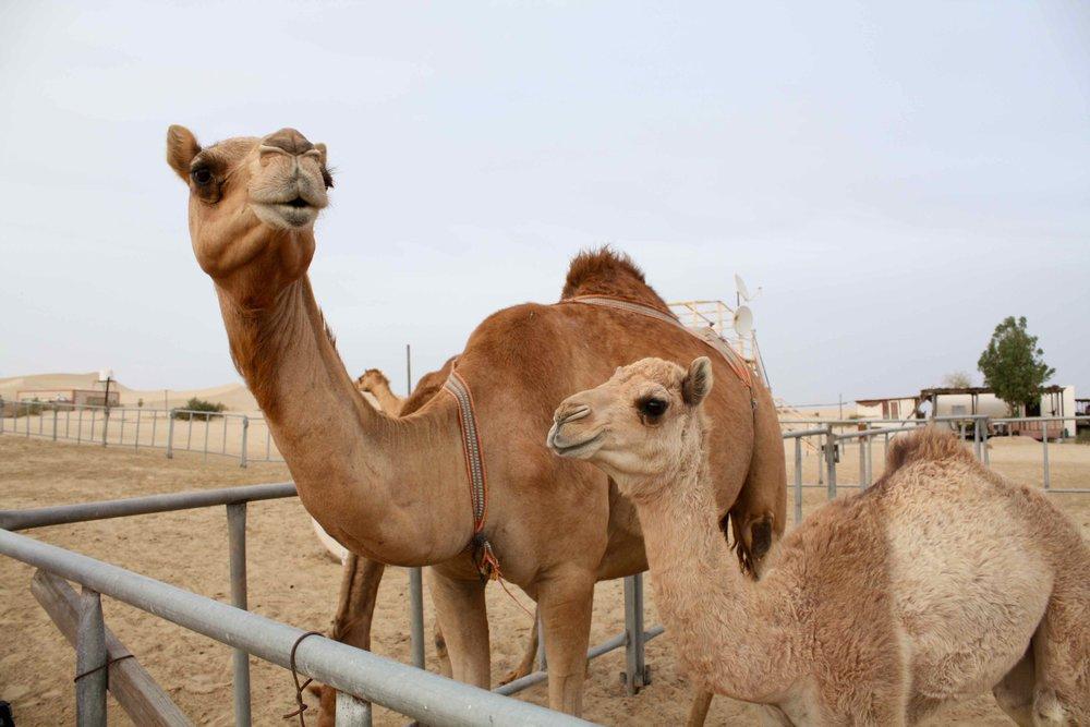 Dromedaries, Abu Dhabi, 2012 ©