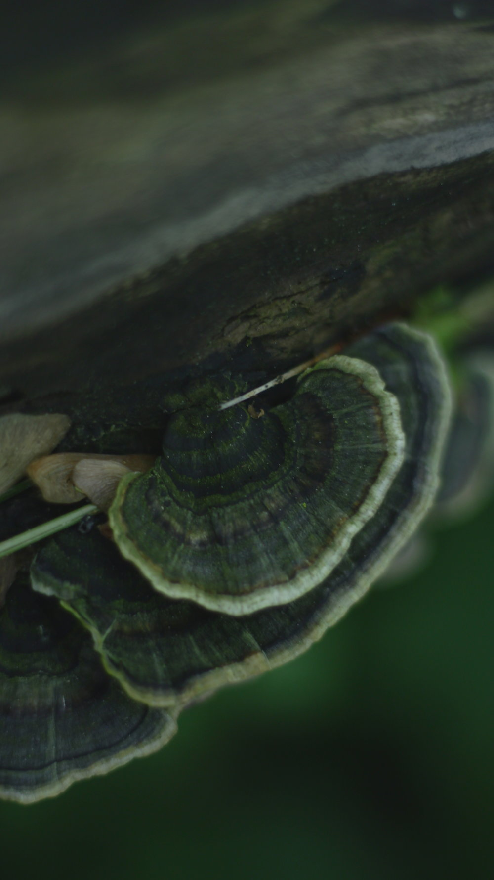 Tramète versicolore (trametes versicolor)