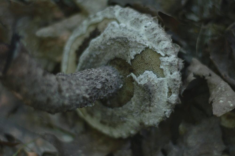 Bolet pomme de pin / Strobilomyces floccopus