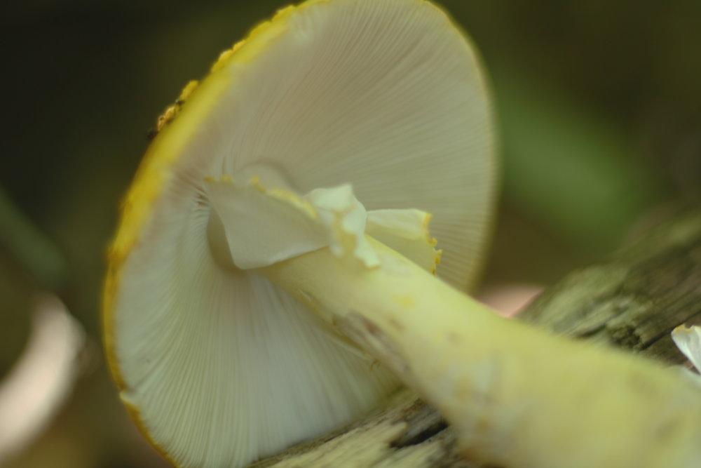 Amanite à voile jaune / Amanita flavoconia