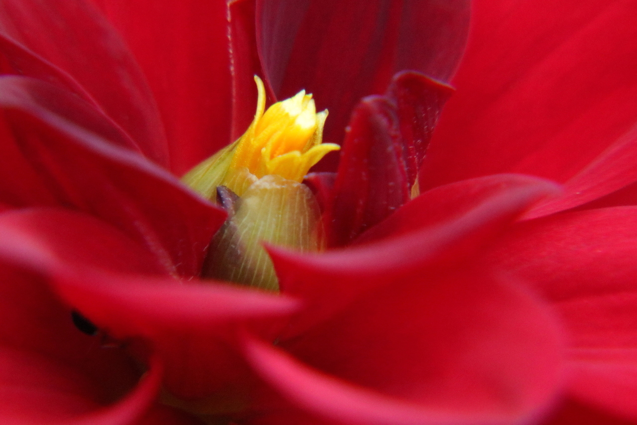 yellow-ovary-red-flower-macro-1634144-1279x853