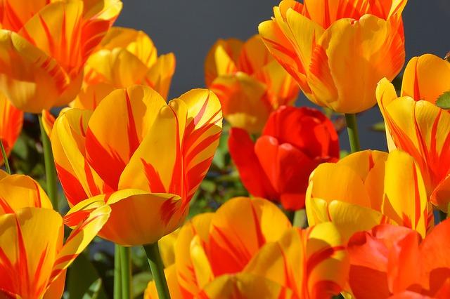 tulips-1261142_640