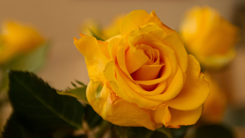 large yellow rose.jpg