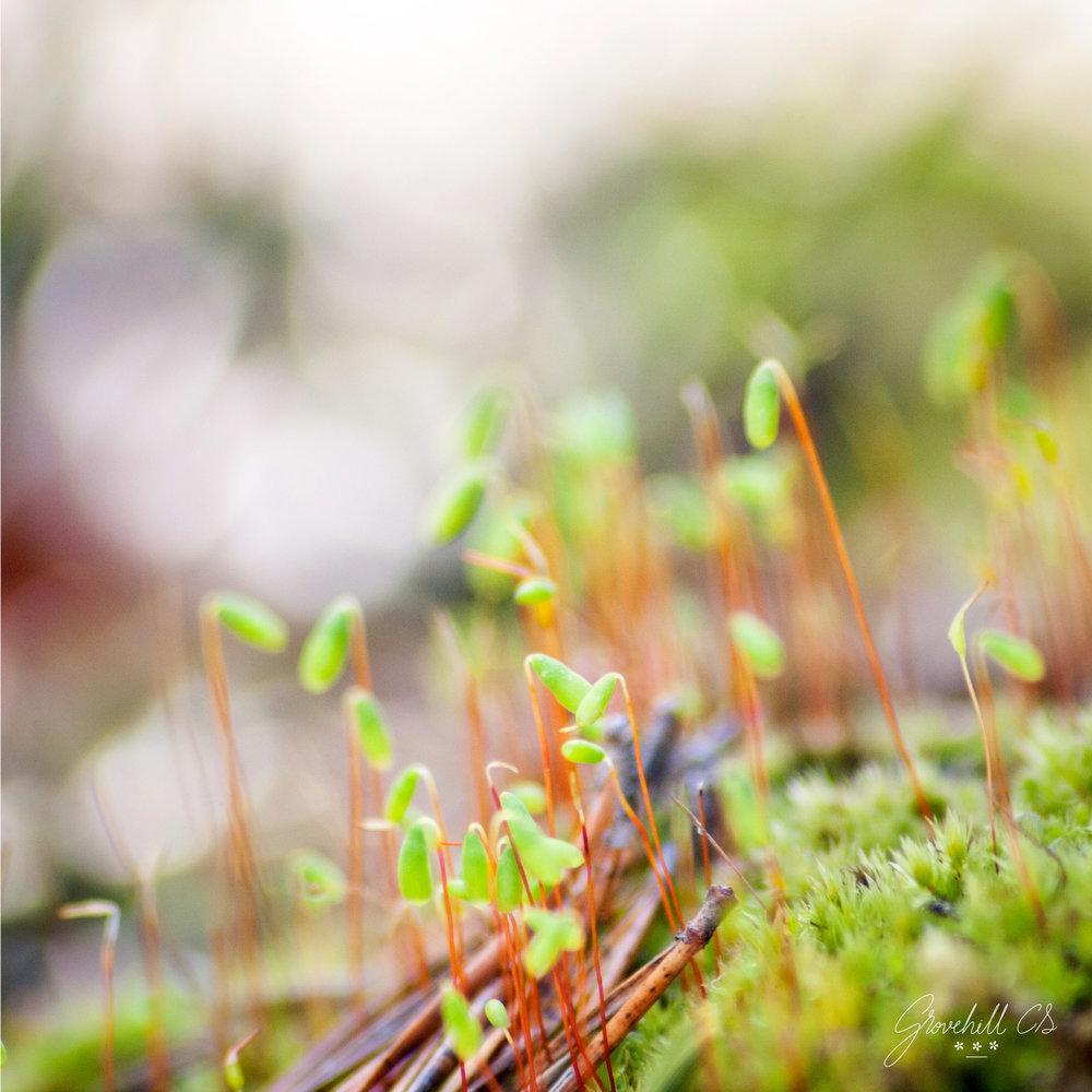 Pohlia Moss   Nature Photography