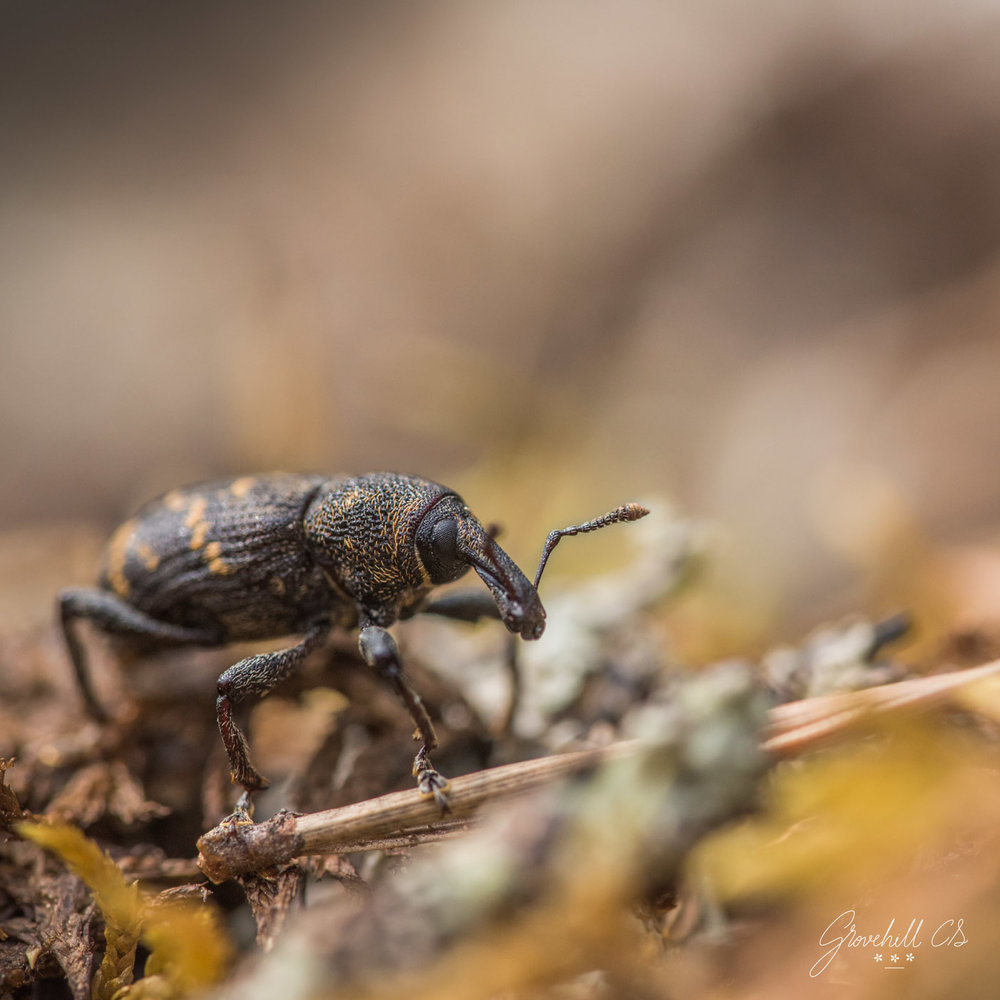 Large Pine Weevil   Insect Photography