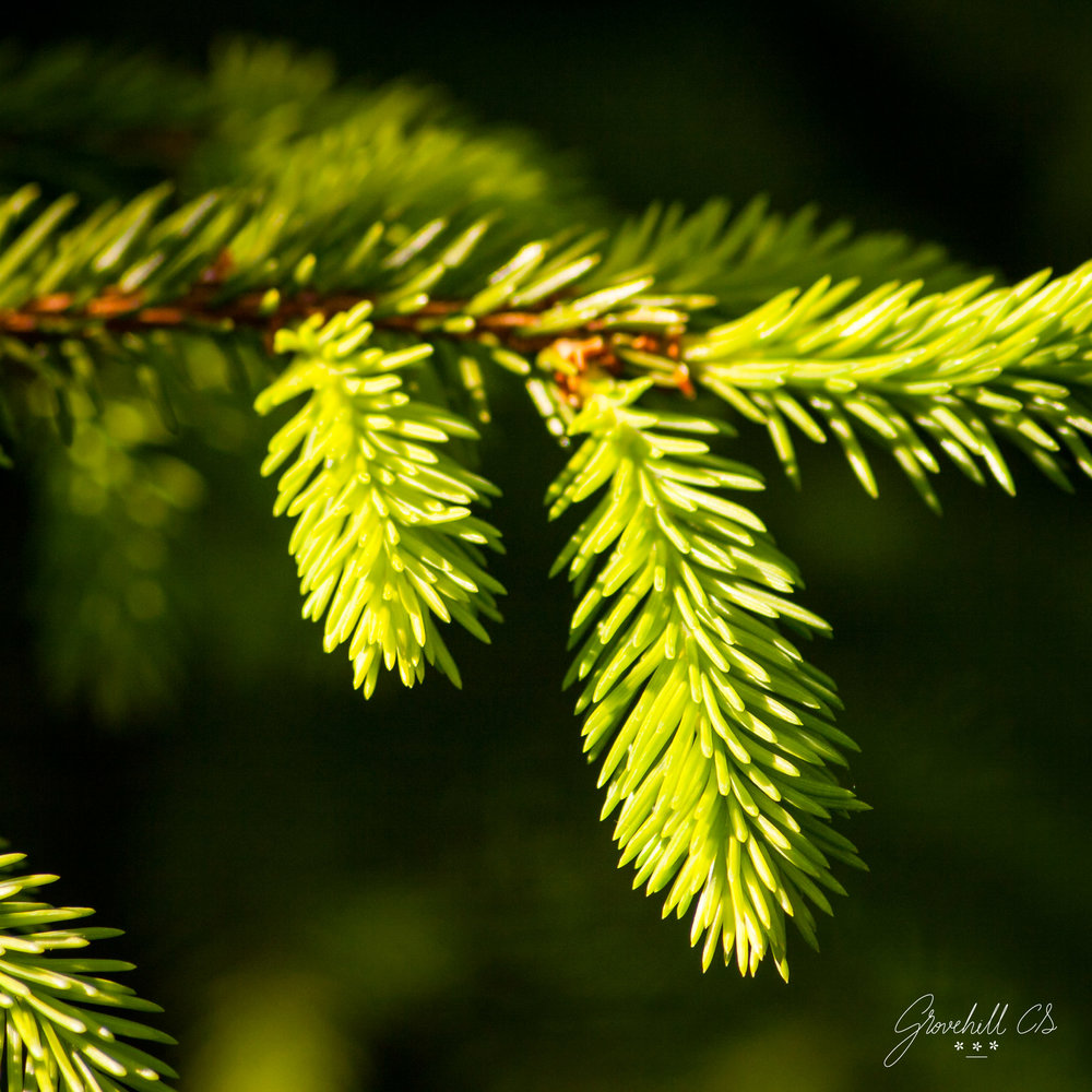 Spruce tree   Nature Photography