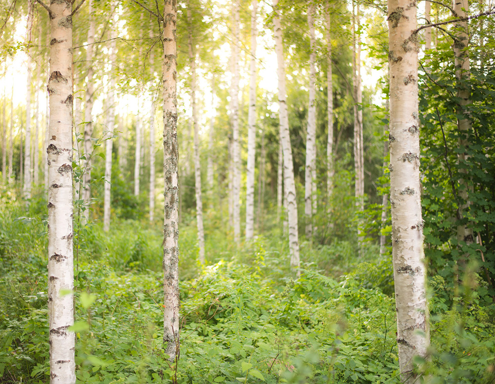 Birch Grove   Nature Photography